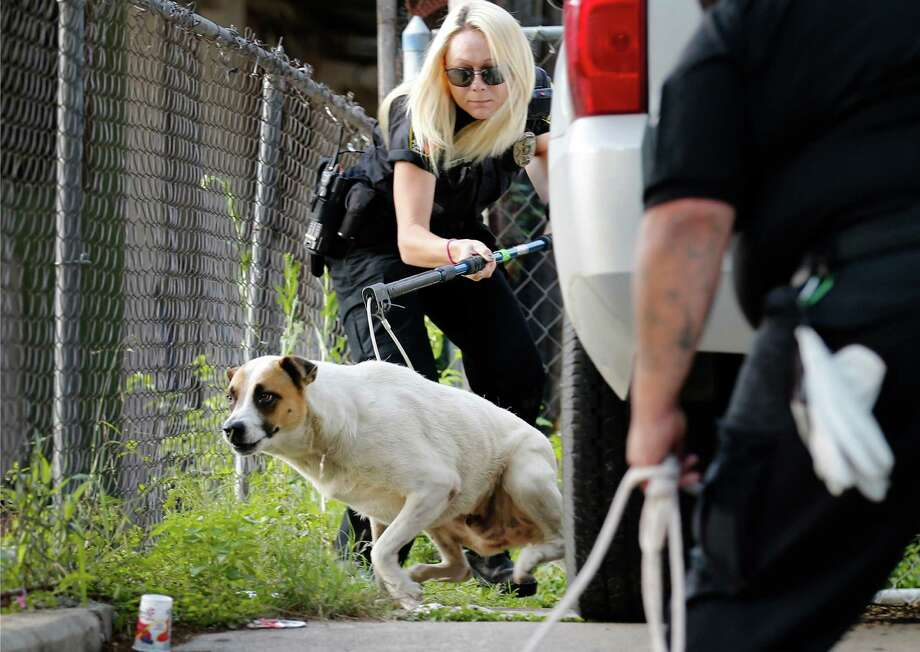 In this June file photo, an animal care officer attempts to capture a loose dog as officials and volunteers from Animal Care Services walk a Southwest side neighborhood as part of a citywide community education campaign about responsible pet ownership. The city has more work to do to solve the problem of stray animals. Photo: Kin Man Hui /San Antonio Express-News / ©2016 San Antonio Express-News