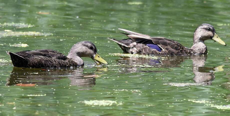 An American Black Duck, left, and a Mallard Duck swim side by side in the Bruce Park pond in Greenwich. Photo: Tyler Sizemore / Hearst Connecticut Media / Greenwich Time