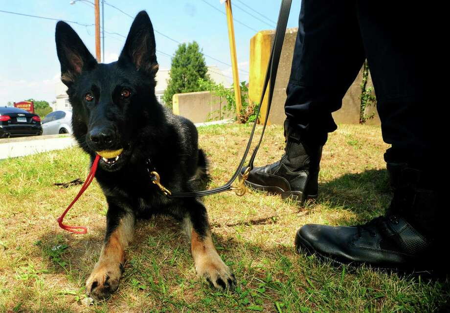 Zeus is the Bridgeport Police Department's newest K9 who is paired with officer Ryan Mullenax at Bridgeport Police Department headquarters in  Bridgeport, Conn. on Wednesday July 6, 2016. Photo: Christian Abraham / Hearst Connecticut Media / Connecticut Post