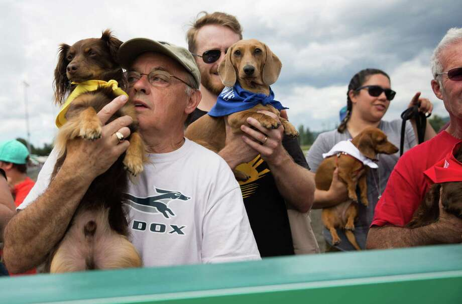 Racers hold their dogs before putting them into the starting gate during the Emerald Downs Wiener Dog races in Auburn on Sunday, July 10, 2016. Photo: GRANT HINDSLEY, SEATTLEPI.COM / SEATTLEPI.COM