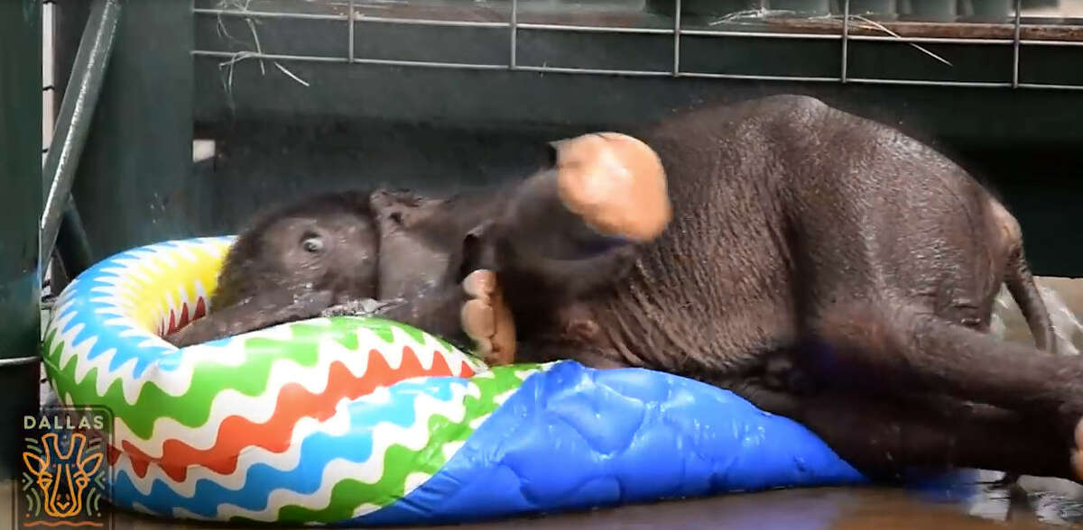 Dallas Zoo's 2-month-old baby elephant had his first pool experience last week.
