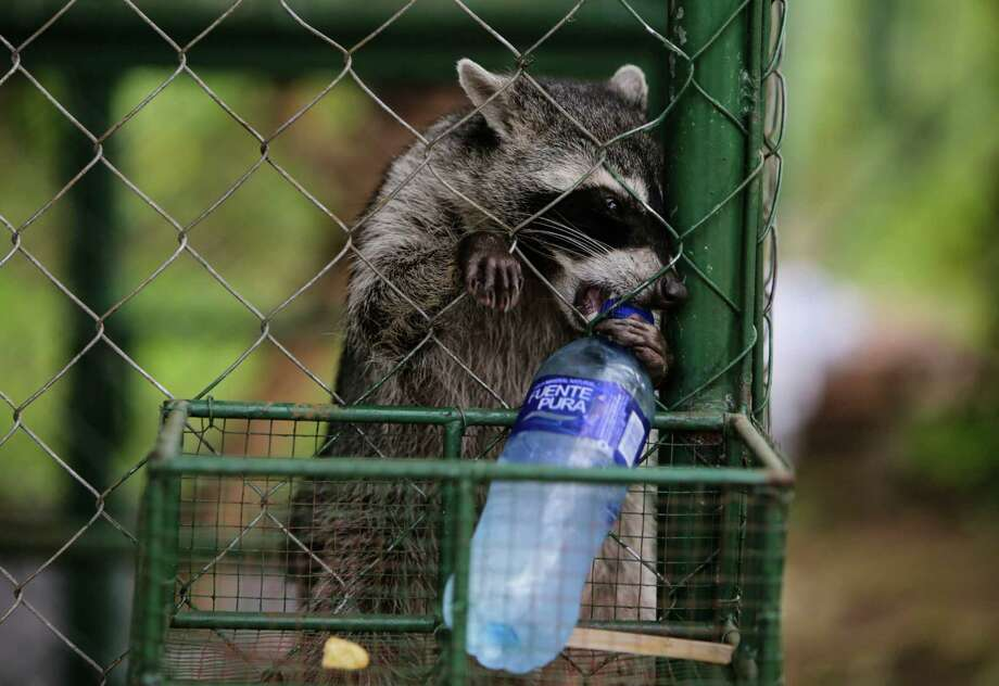 The state Department of Public Health will no longer pay for testing of rabid wild animals — such as racoons — suspected of infecting domestic pets, but where there was no human exposure. DPH's state laboratory will continue to provide and pay for rabies testing of any wild or domestic animal suspected of carrying rabies if humans have been exposed. AFP PHOTO / INTI OCONINTI OCON/AFP/Getty Images Photo: INTI OCON / AFP /Getty Images / AFP or licensors