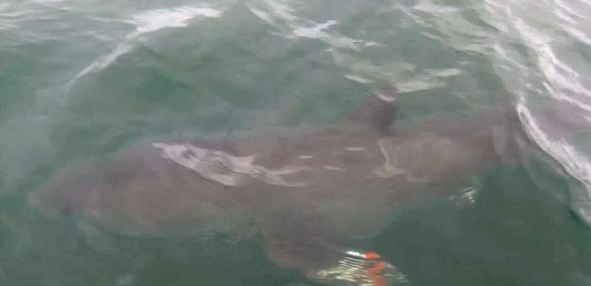 Houston boy Blake White, 6, hooked this great white shark while fishing Saturday, July 9, 2016 in Cape Cod, Mass.