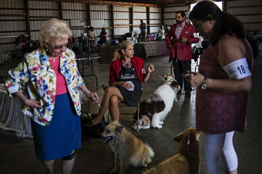 Laurie Greer, of Flagstaff, Ariz., holds onto dog Copper, an Australian shepherd, while waiting to compete on Thursday at the Midland County Fairgrounds. The Midland Kennel Club and the Mt. Pleasant Kennel Club put on the M&M Cluster Dog Show from June 9-12 where close to 500 dogs were shown in all-breed shows and obedience and rally trials. Photo: Erin Kirkland