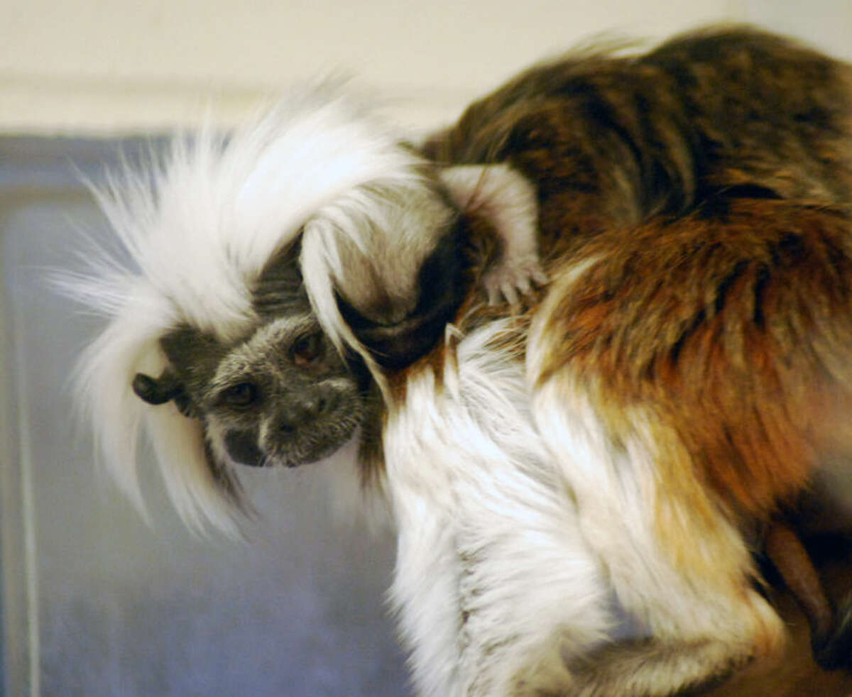 Cotton-top tamarin Clementine is shown with one of the babies on her back at the Children's Zoo in Saginaw.