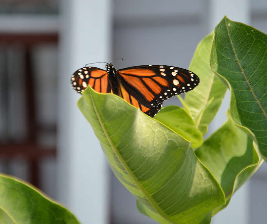 Milkweed is an essential plant for monarch butterflies. They feed on milkweed plants and lay their eggs on them. Photo: Steve Griffin | File Photo For The Daily News