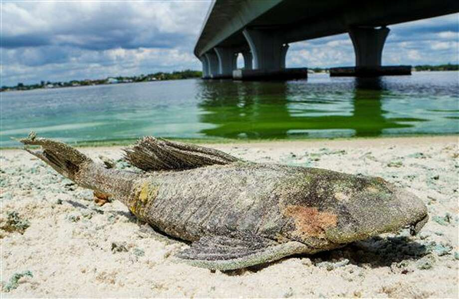 A dead walking catfish lays on the shore with algae along Sewell's Point on the St. Lucie River under an Ocean Boulevard bridge on Monday, June 27, 2016. The Martin County Commission decided at an emergency meeting Tuesday to ask state and federal authorities to declare a disaster where blue-green algae has closed beaches. County officials on Florida's Atlantic coast want the U.S. Army Corps of Engineers to close the locks between Lake Okeechobee and the St. Lucie River. (Richard Graulich/The Palm Beach Post via AP) Photo: Richard Graulich
