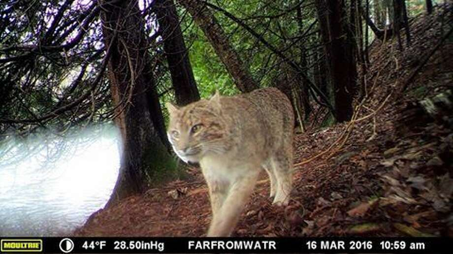 The Chippewa Watershed Conservancy, based in Mount Pleasant, shared this photograph of a bobcat wandering by one of its cameras in Isabella County earlier this month.  Photo: Chippewa Watershed Conservancy, Mount Pleasant
