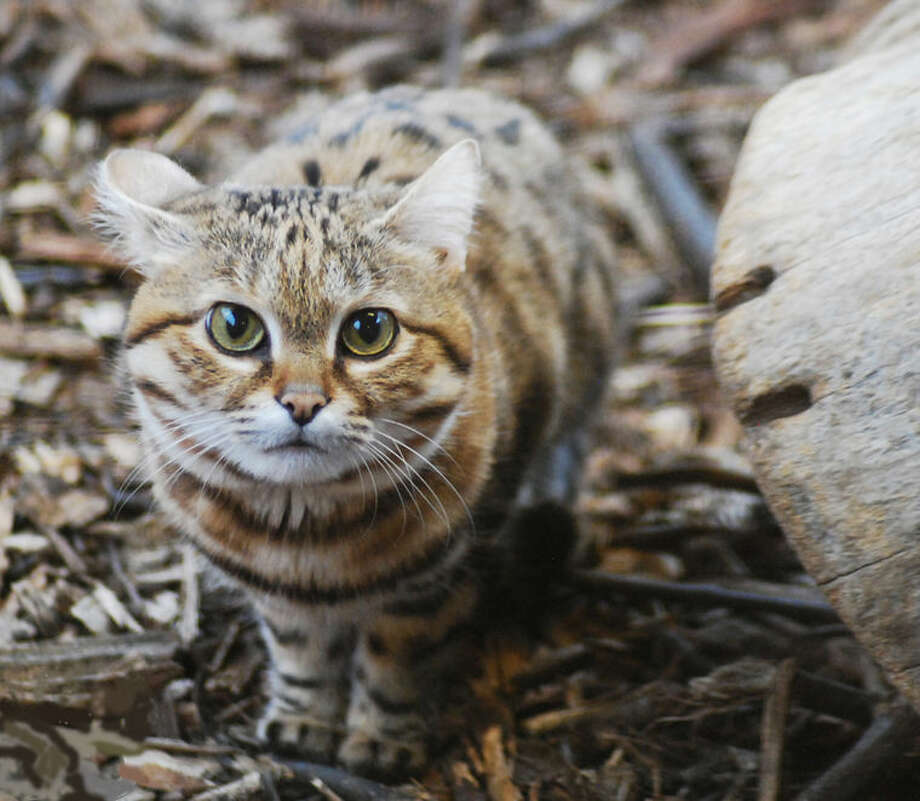 Meeka the black-footed cat is one of the new animals at the Saginaw Children's Zoo at Celebration Square, which reopens on Saturday. Photo: Photo Provided