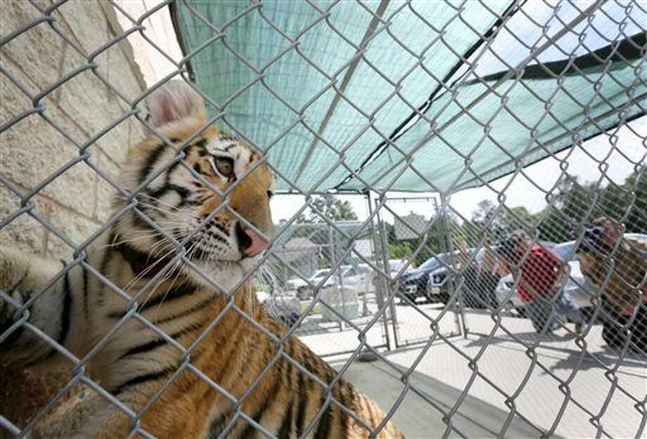 A young female tiger, looks out of a cage at the City of Conroe Animal Shelter Thursday, April 21, 2016, in Conroe, Texas. Authorities are looking for its owner, and they suspect it was a pet. Animal control officers have captured an apparently domesticated tiger that was spotted roaming a residential neighborhood in Conroe, Texas. Photo: Jon Shapley/Houston Chronicle Via AP