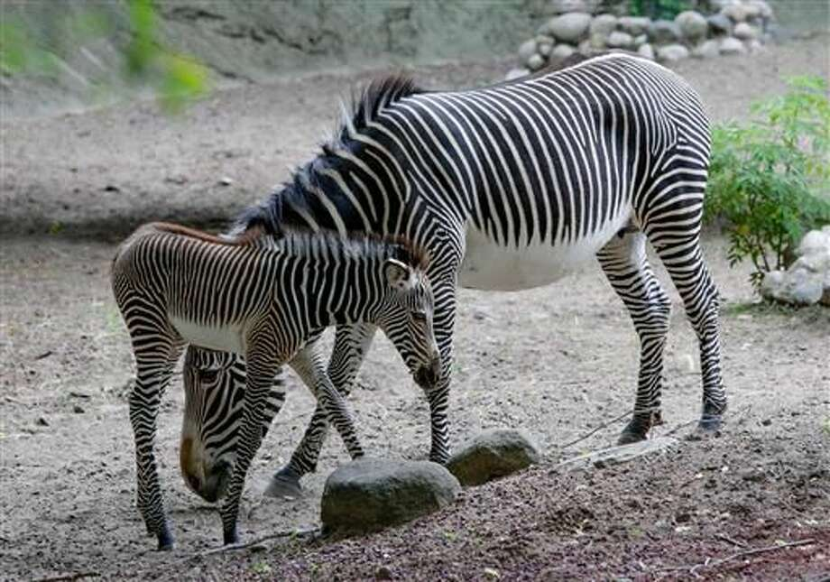 A four day old Grevy's zebra stands with her mother Adia in their habitat at the Lincoln Park Zoo Wednesday, June 22, 2016, in Chicago. The zebra is native to eastern Africa and is endangered in the wild because of hunting and habitat loss. Lincoln Park Zoo is part of a nationwide conservation effort to save the animals. Photo: AP Photo/Teresa Crawford