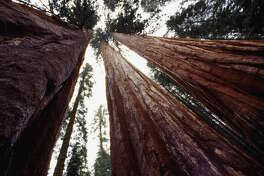 CALIFORNIA: SEQUOIA NATIONAL PARK  You've heard of California's renowned redwoods, but did you know about its sequoias? While redwood trees stand as the tallest trees in the world, sequoias are the largest. The biggest sequoia in the world , a tree fondly known as General Sherman, can be found in the Sunshine State's Sequoia National Park. Believe it or not, General Sherman is 275 feet tall, 102 feet wide and weighs 2.7 million pounds.
