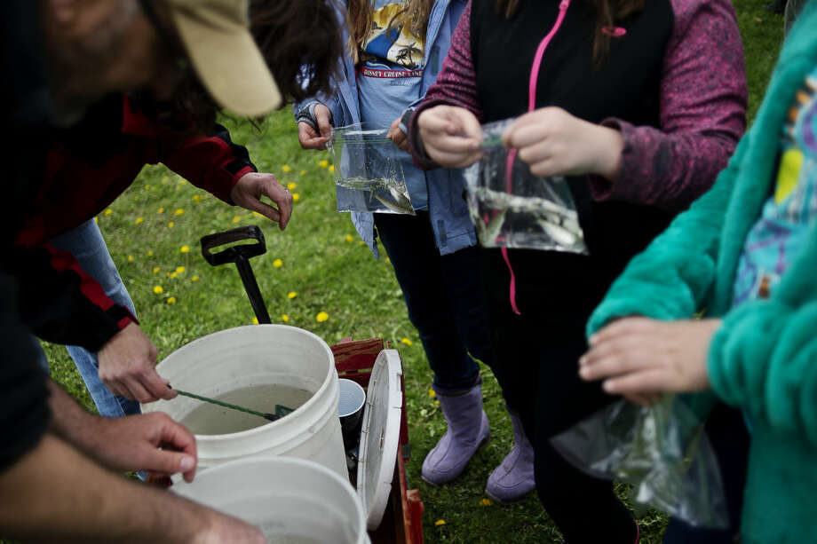 ERIN KIRKLAND | ekirkland@mdn.net Children hold onto their salmon before releasing them on Friday at the Tridge. St. Brigid 4th graders released 150 hand-raised Chinook salmon as part of the Department of Natural Resources Salmon in the Classroom (SIC) Program. The Leon P. Martuch Chapter of Trout Unlimited sponsored the equipment and other resources for the Saint Brigid School Salmon in the Classroom Program. SIC is a yearlong natural resources education program in which teachers receive fertilized salmon eggs from a DNR fish hatchery in the fall, hatch them out, feed and raise the fry through spring, and then release the young salmon into a local river. Photo: Erin Kirkland/Midland Daily News