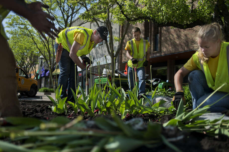 BRITTNEY LOHMILLER | blohmiller@mdn.net From left: City of Midland employees Austin DeLucia, Jordan Clements, Justin Hoffman and Hollie Koning dig up tulips from flower beds along Main Street in Midland on Tuesday. Coleus, angelonia, marigolds, petunias and other blooming annuals will be planted on Main and Ashman streets as well as around the farmer's market next week. Photo: Brittney Lohmiller/Midland Daily News