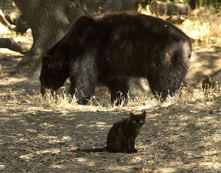 """""""Little Bear"""" the cat, foreground, sits in the shade as Sequoia the black bear walks past at the Folsom City Zoo Sanctuary, Thursday, July 7, 2016, in Folsom, Calif. The pair have formed a relationship were zoo keepers have seen them share meals and have seen them sleeping in the shade near each other. Photo: AP Photo/Rich Pedroncelli"""