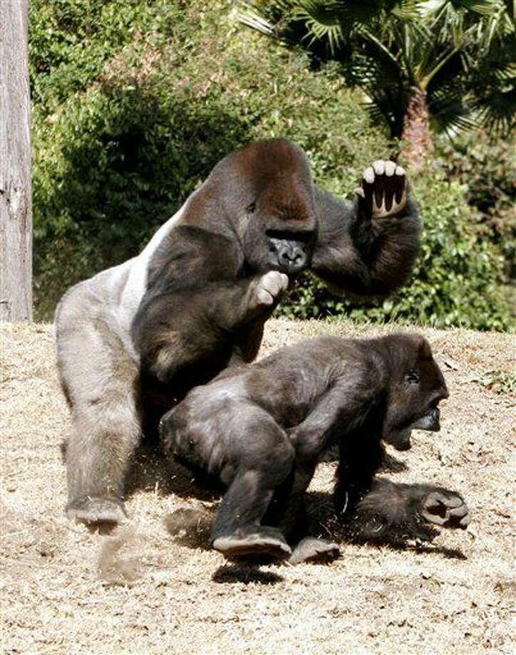 En esta imagen del 14 de febrero de 2006, Bantú, un gorila macho, juega con Arila, en el Zoológico de Chapultepec en la Ciudad de México. El zoológico capitalino y la agencia de vida silvestre informaron el jueves 7 de julio de 2016 que el gorila macho, de 24 años de edad, aparentemente sufrió un infarto cardiaco tras ser sedado la noche del miércoles. Los doctores pasaron 30 minutos intentando revivir al primate. Bantú estaba siendo trasladado al Zoológico de Guadalajara, en el occidente de México, con la esperanza de que se apareara con dos hembras. (AP Foto/Marco Ugarte, Archivo) Photo: MARCO UGARTE