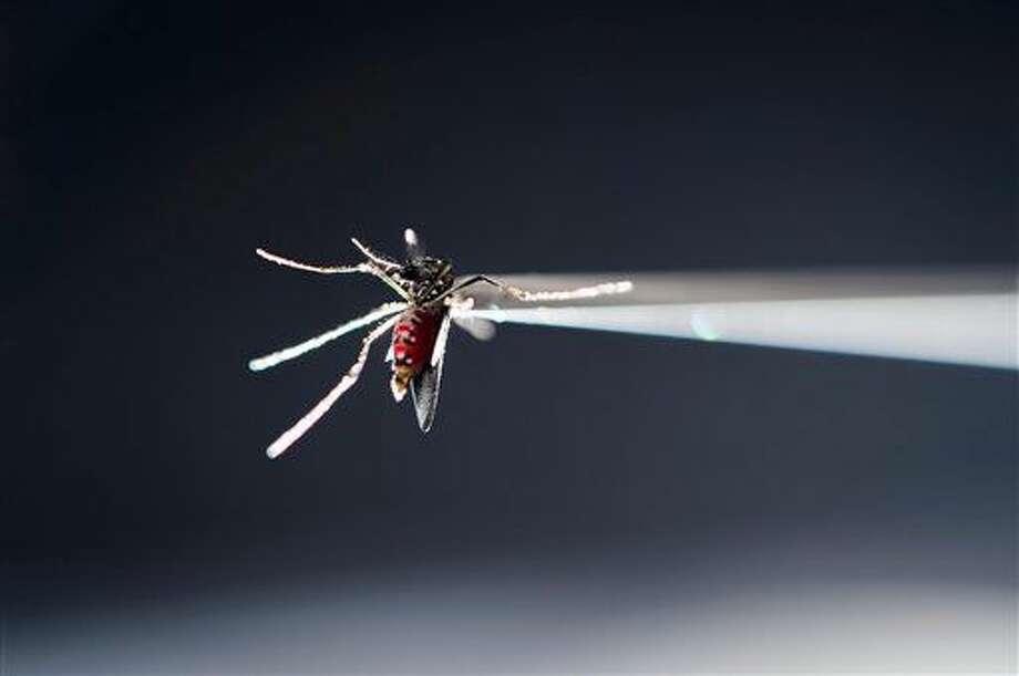 En esta fotografía del 17 de mayo de 2016 proporcionada por la Universidad de Wisconsin-Madison, un tubo sostiene a un mosquito Aedes aegypti que ya se alimentó con sangre bajo un microscopio en un laboratorio investigador del Edificio Hanson de Ciencias Biomédicas en la universidad, en Madison, Wisconsin. Las autoridades neoyorquinas advirtieron el miércoles 29 de junio de 2016 que casi dos terceras partes de las 233 personas que padecen el virus del zika en Nueva York han regresado recientemente de República Dominicana. (Jeff Miller/UW-Madison vía AP) Photo: Jeff Miller