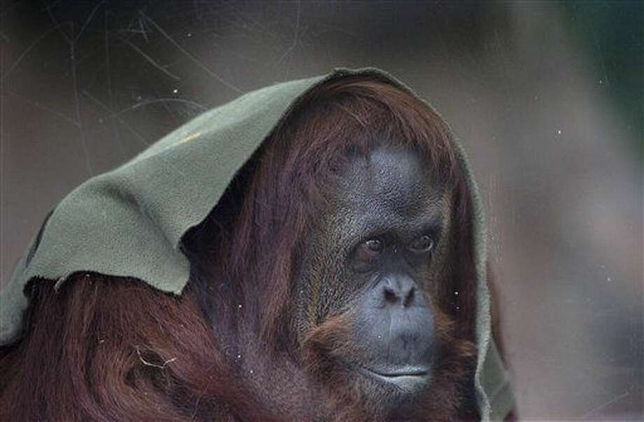 La orangutana Sandra, fotografiada a través de un vidrio, yace sentada en una jaula del antiguo zoológico de Buenos Aires, el viernes 1 de julio de 2016. El gobierno de la ciudad anunció que va a transformar el zoológico en un parque ecológico. (AP Foto/Natacha Pisarenko) Photo: Natacha Pisarenko