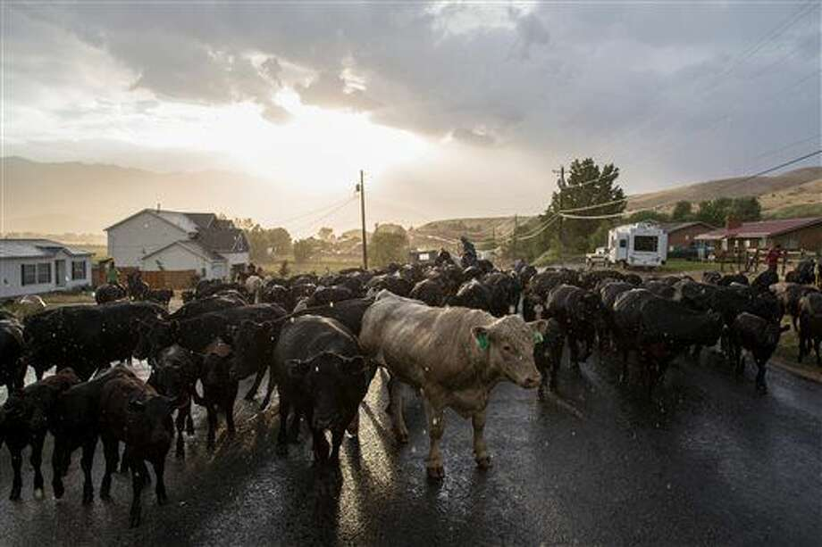 In this Wednesday, June 29, 2016 photo, Lane Pentz and his family drive their cattle up the road in Morgan, Utah. The Pentz family moved its herd of cattle along a stretch of northern Utah highway Thursday despite an ongoing dispute with state transportation officials about the practice. (Spenser Heaps/The Deseret News via AP) Photo: Spenser Heaps