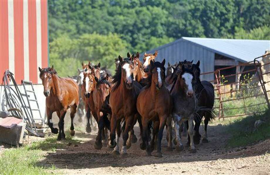 ADVANCE FOR USE SUNDAY, JULY 10 - In this photo taken Wednesday, June 29, 2016, horses are taken to a pasture at Three Hills Rodeo in rural Bernard, Iowa. For more than three decades, the Morehead family has made rodeo more than just a business. (Jessica Reilly/Telegraph Herald via AP) Photo: Jessica Reilly