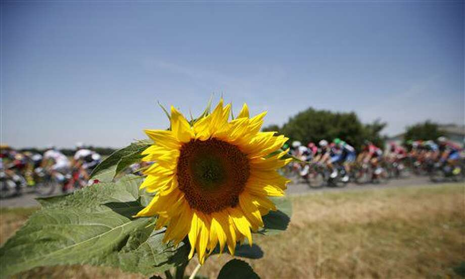 The pack passes a field with sunflowers during the seventh stage of the Tour de France cycling race over 162.5 kilometers (100.7 miles) with start in L'Isle-Jourdain and finish in Lac de Payolle, France, Friday, July 8, 2016. (AP Photo/Christophe Ena) Photo: Christophe Ena