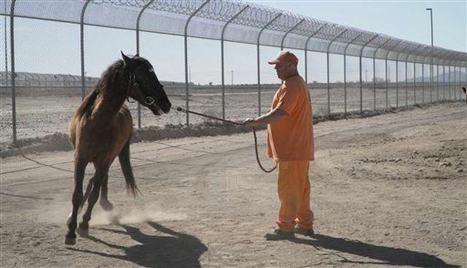 Inmates Brian Tierce works with a horse at the Arizona State Prison Complex in Florence, Ariz. He is part of the Wild Horse Inmate Program that uses inmates to tame wild horses gathered from BLM land. (Pat Shannahan/The Arizona Republic via AP) Photo: Pat Shannahan