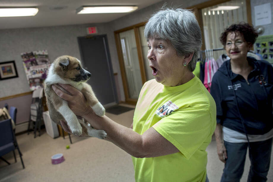 Sandra Kilby, executive director, makes a face as she plays with a rescued Norwegian Buhund puppy at the Humane Society of St. Clair County in China Township in this file photo. Photo: Jeffrey M. Smith | The Times Herald Via AP