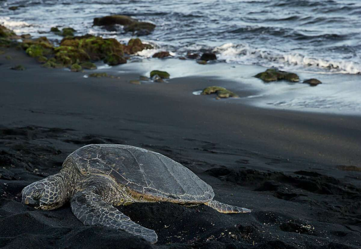 The Big Island: Punaluu Black Sand Beach Due to constant volcanic activity, the beach is comprised of mostly black sand. It is also a popular spot for the Hawaiian Green Sea Turtles, who enjoy burying themselves in the warm black sand.