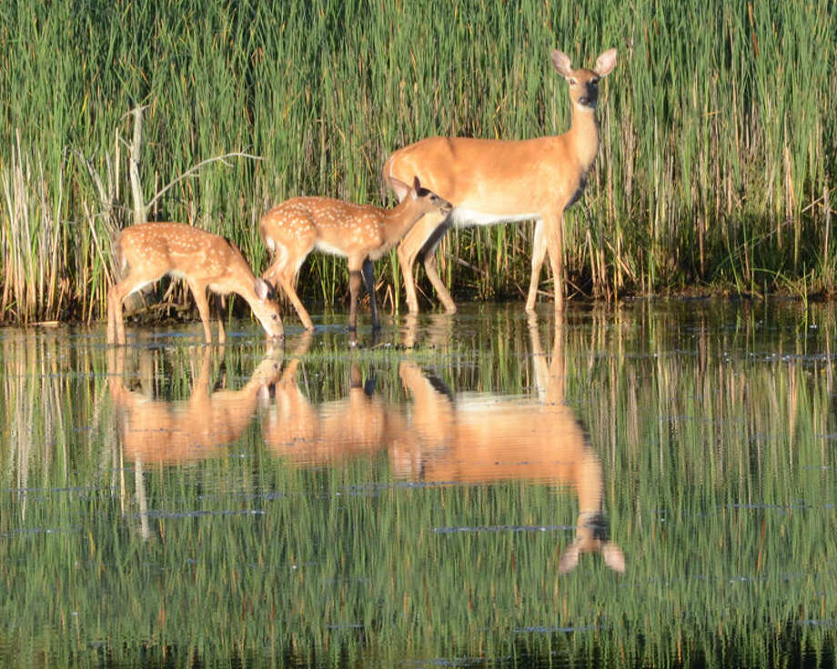A doe and two fawns in the pond alongside Joe Mann between Jefferson and Waldo on a recent morning. Photo: Cheryl McMahan