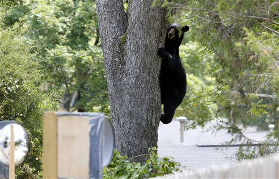 A bear wandering around the Historic Distric of Opelika, Ala on Wednesday, June 29, 2016 was tranquilized in this tree, climbed down and later feel asleep and relocated after a couple hour chase. (Todd J. Van Emst/Opelika-Auburn News via AP) Photo: Todd J. Van Emst