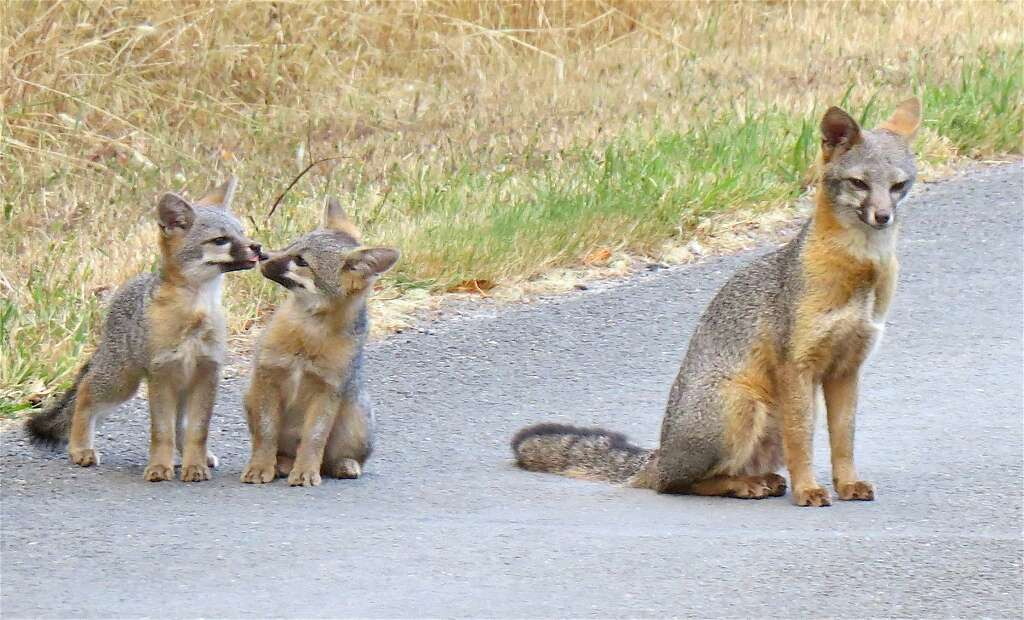 A family of gray fox emerged from the woods last Saturday at the parking lot at the visitor center at Point Reyes National Seashore. Photo: Tom Stienstra, David Assman / Special To The Chronicle
