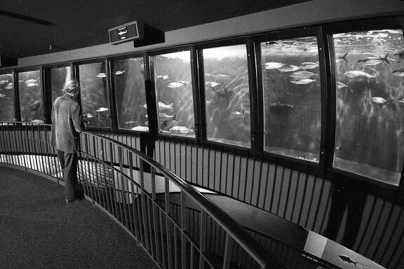 May 5, 1977: A man gazes into the Steinhart Aquarium fish roundabout at the California Academy of Sciences.