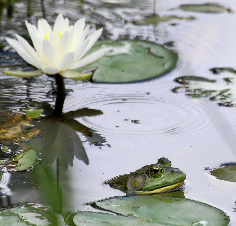 A bullfrog rests in the water near a water lily in New England, July 2016. Photo: Chris Bosak / Hearst Connecticut Media