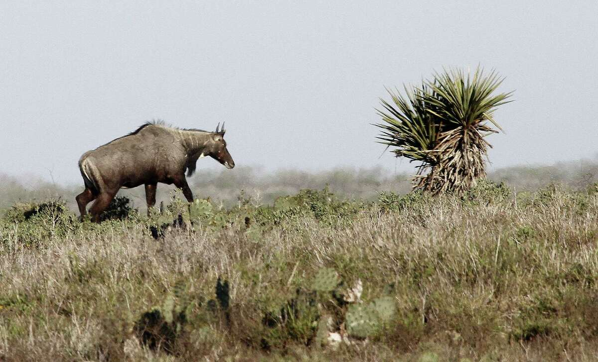 Opportunities to apply for drawings for permits to hunt nilgai, a non-native antelope, on three federal wildlife refuges in South Texas are part of this year's expanded public hunting program run by Texas Parks and Wildlife Department.