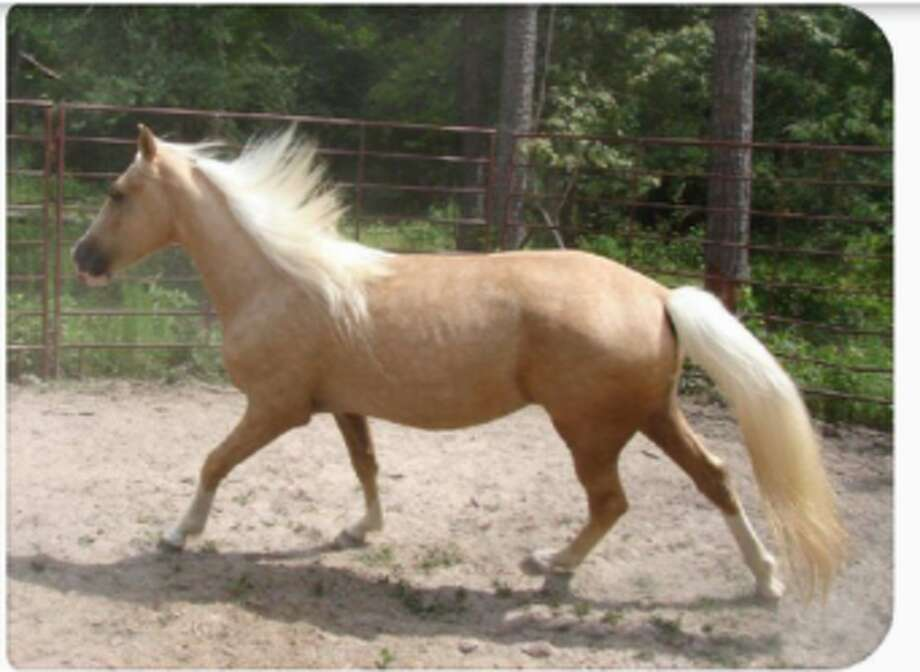 Dash, a gold, 3-year-old Palomino mare, was taken without permission June 13, 2016, from T-N-T Stables in the 3900 block of Vermont in Fort Bend County. (Fort Bend County Sheriff's Office)