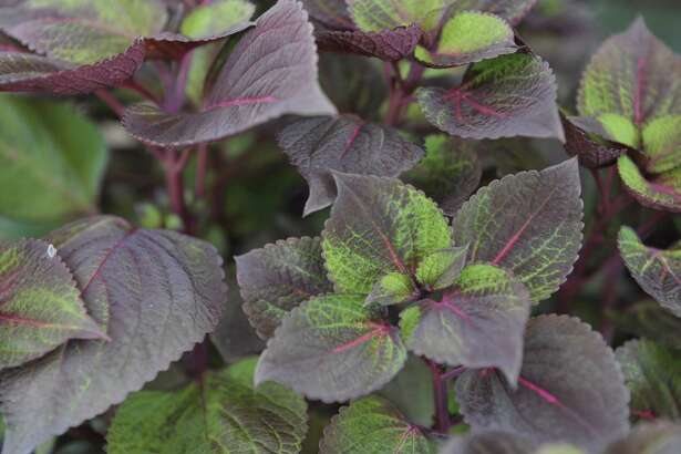 A view of a coleus plant in the garden outside the Miller's home on Thursday, July 16, 2015, in Loudonville, N.Y.(Paul Buckowski / Times Union)