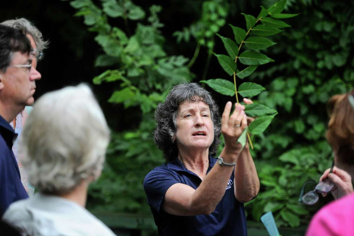 Donna Ellis holds up a cutting of Tree of Heaven (Ailanthus Althissima) during a hike she was leading, on invasive non-native plants, through the Steep Rock Preserve . Thursday, July 14, 2016, in Washington, Conn. Ellis is a Senior Extension Educator with the College of Agriculture, Health and Nature Resources at the University of Connecticut. The walk was sponsored by the Steep Rock Association.
