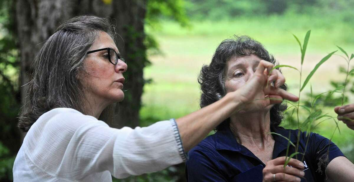 Elizabeth Lacy, of Roxbury, looks at a cutting of Japanese Stilt Grass (Microstegium Vimineum) held by Donna Ellis during a hike Ellis was leading through the Steep Rock Preserve on invasive non-native plants. Thursday, July 14, 2016, in Washington, Conn. Ellis is a Senior Extension Educator with the College of Agriculture, Health and Nature Resources at the University of Connecticut. The walk was sponsored by the Steep Rock Association.