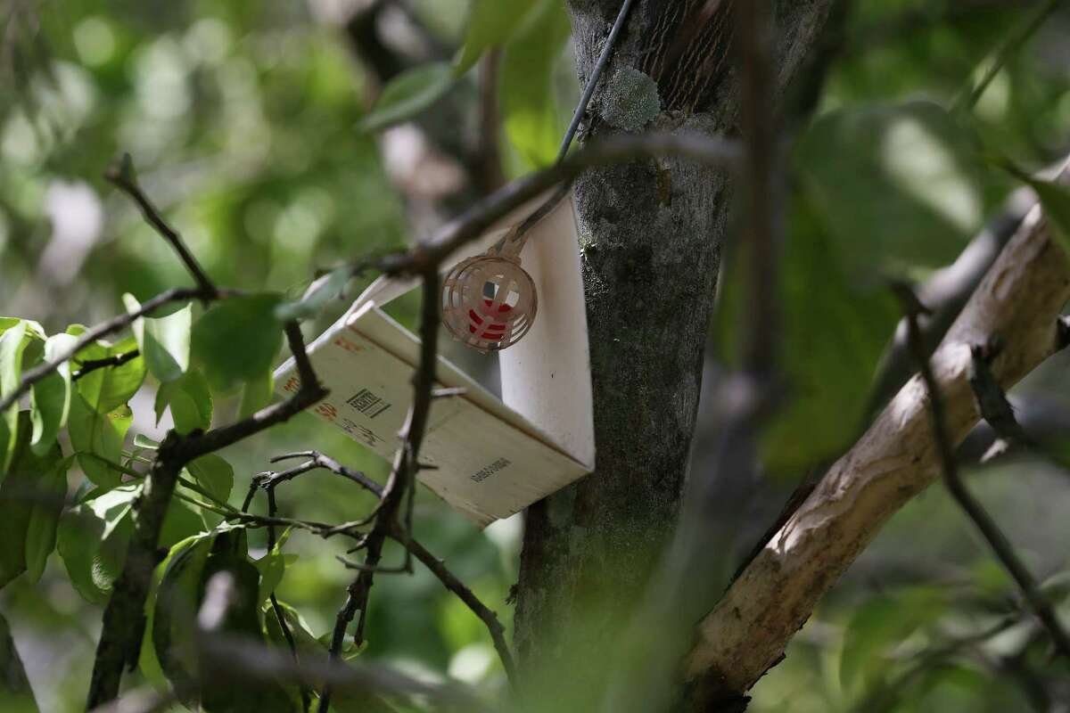 A Jackson trap is baited with lure at a residence in Hidalgo County, northeast of McAllen. Workers with the Texas Department of Agriculture and the U. S. Department of Agriculture have placed traps throughout the Rio Grande Valley in their effort to combat the presence of the Mexican fruit fly. The USDA Plant Health Inspection Service declared the fly eradicated from the U.S. in 2012. But the fly has reemerged and as of mid-June nearly 1,700 square miles of land were under quarantine in Texas.