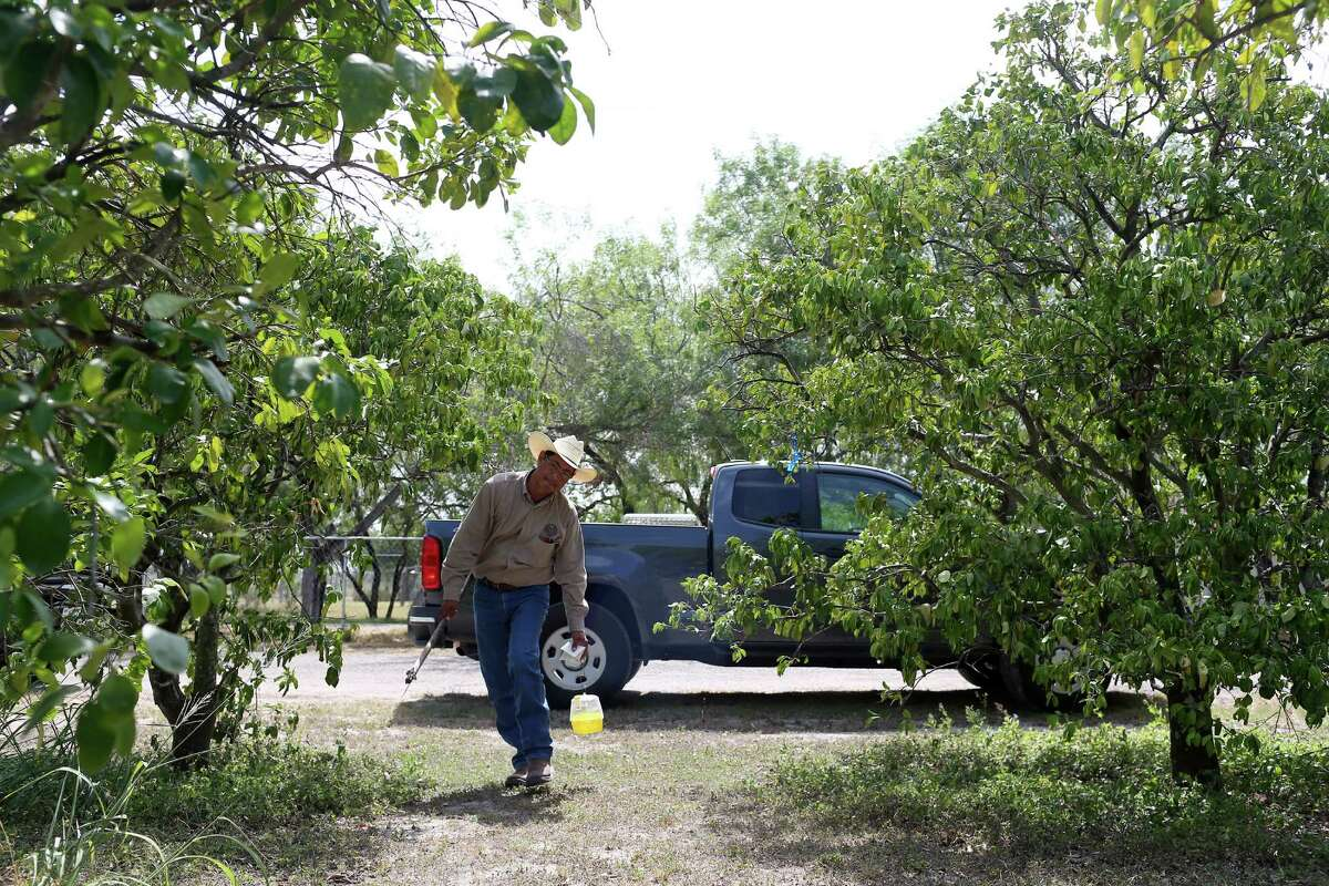 Texas Department of Agriculture inspector Fred Sanchez places a trap at a residence in Hidalgo County northeast of McAllen. TDA and the U. S. Department of Agriculture have joined efforts to contain the spreading of the Mexican fruit fly in Texas. The fly prefers to lay its eggs in grapefruits but has been known to breed in about 40 different fruits and vegetables. The Rio Grande Valley is home to an over $100 million citrus industry and according to the USDA, losses due to the Mexican fruit fly could reach $1.44 billion in five years.