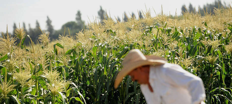 Worker Javier Alcantar tends to corn crops at the Monsanto Co. test field in Woodland, Calif., on Aug. 10, 2012. Monsanto is the world's largest producer of genetically engineered seed. Photo: Noah Berger Bloomberg /Noah Berger, Bloomberg / Noah Berger, Bloomberg