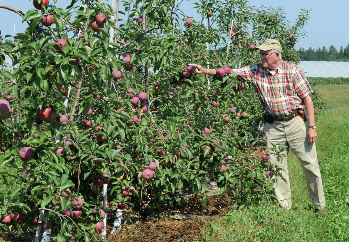 Peter Ten Eyck, owner of Indian Ladder Farms, checks the apples as he walks through his apple orchard at Indian Ladder Farms Friday, Sept. 5, 2014 in Altamont, N.Y. GMO trial testing is being proposed in the United States to grow slow-browning apples.(Lori Van Buren / Times Union)