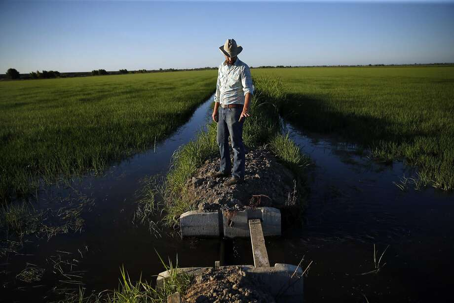 Jacob Katz, California Trout senior scientist, walks on a check between rice fields in Woodland (Yolo County). Photo: Scott Strazzante, The Chronicle