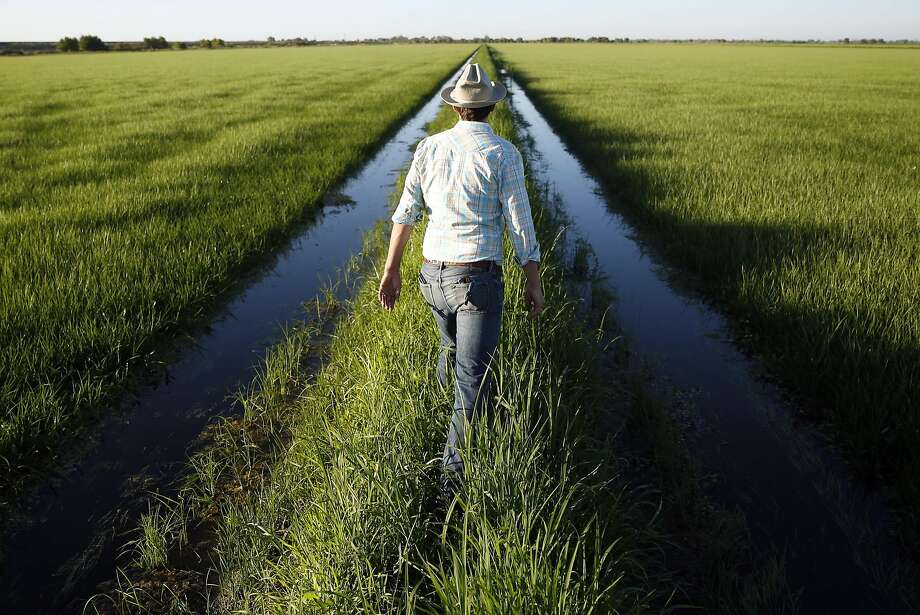 Jacob Katz, California Trout senior scientist, walks on a check between rice fields in Woodland, (Yolo County). Photo: Scott Strazzante, The Chronicle