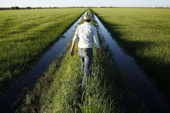 California Trout senior scientist Jacob Katz walks on a  check between rice fields in Woodland, Calif., on Thursday, July 14, 2016.