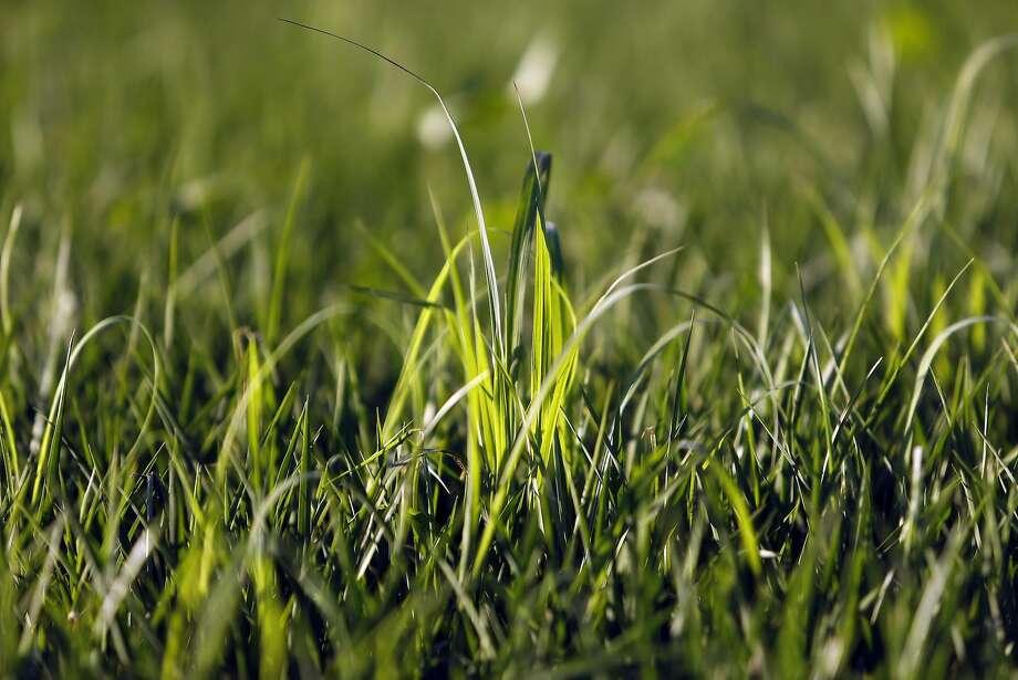 Rice field in Woodland (Yolo County). Photo: Scott Strazzante, The Chronicle