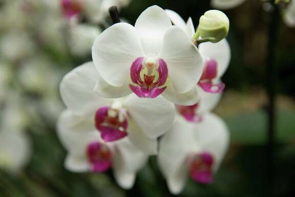 Eighty percent of orchids sold are phalaenopsis, above, or moth orchids. The exotic orchid looks like a delicate beauty, but with a little care, you can make it feel right at home.