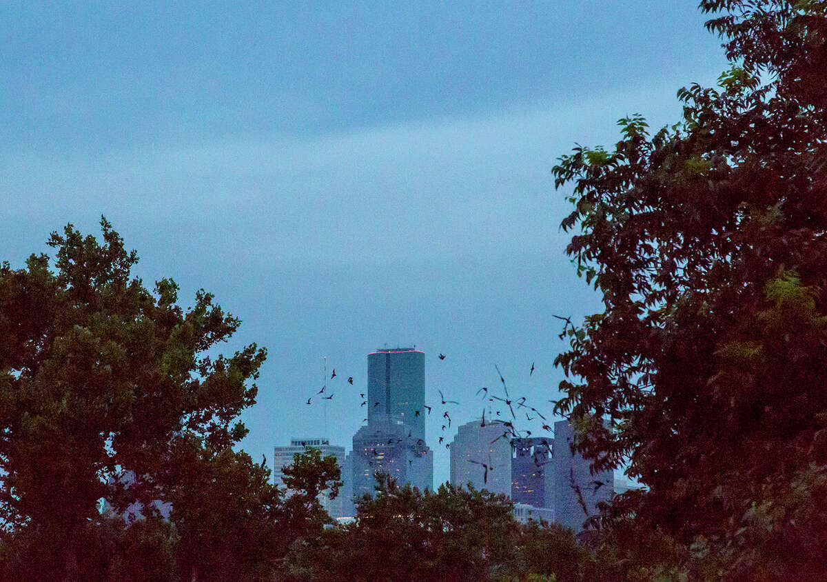 Mexican free-tailed bats emerge from under the Waugh Street Bridge at Allen Parkway over Buffalo Bayou in front of the Houston skyline. Photo Credit: Kathy Adams Clark. Restricted use.