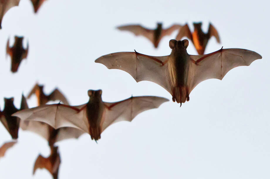 The Waugh Bridge is home to approximately 250,000 Mexican free-tailed bats.Click through these photos to see the fascinating  creature in other poses, both close up and far away, filling the evening sky in huge numbers. Photo: MARVIN PFEIFFER, STAFF / Prime Time Newspapers 2011