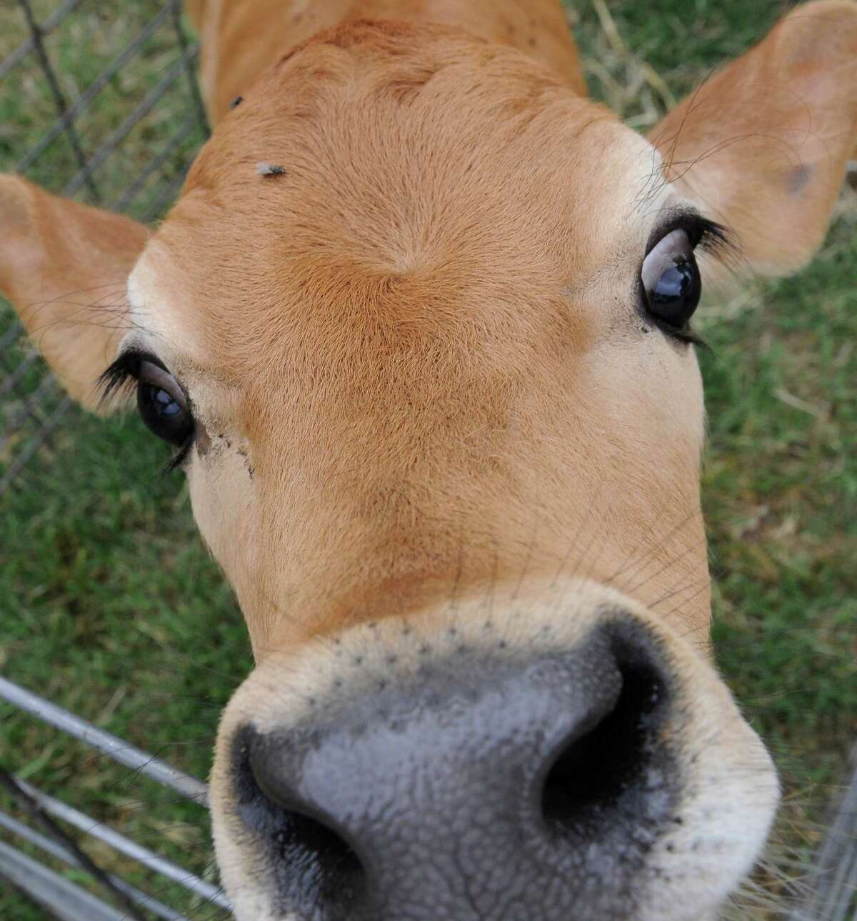 A Jersey calf sniffs at a camera lens at the Stryk Jersey Farm in Schulenberg, Texas.